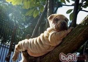 引起狗狗臭的部位有哪些-成犬饲养